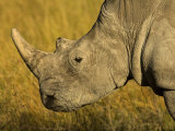 Profile Portrait of a Rhinoceros Photographic Print by Mattias Klum