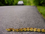 Timber Rattlesnake Crossing the Road in Front of a Car Photographic Print by  White & Petteway