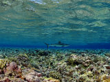 Gray Reef Shark Swimming over Coral Reef Photographic Print by Brian J. Skerry