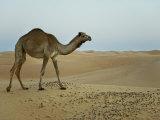 Dromedary Camel in a Desert Landscape Photographic Print by Mattias Klum