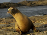 Galapagos Sea Lion, Zolophus Californianus Wallebaecki, on a Beach Photographic Print by Tim Laman