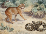 Wary Bobcat Avoids a Coiled Diamondback Rattlesnake Photographic Print by Walter Weber