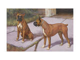 Two Boxer Dogs, known for their Agility, Eye Each Other Photographic Print