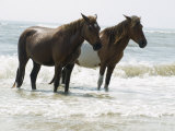 Wild Horses Bathe in the Atlantic Ocean Off the Coast of Maryland Photographic Print by Stacy Gold