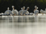 American White Pelicans and Other Birds in Florida Wintering Grounds Fotografisk tryk af Klaus Nigge