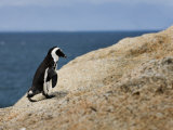 Jackass Penguin Walking on a Large Rock with Ocean in Distance Photographic Print by Mattias Klum