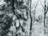 Forest Scene with Snow-Frosted Hemlocks and Moody Blue Lighting Photographic Print by  White & Petteway