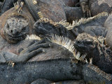Endangered Marine Iguanas, Amblyrhynchus Cristatus, Resting Together Photographic Print by Tim Laman
