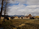 Buffalo in Front of Moulton Barn Near Grand Teton National Park Photographic Print by National Geographic Photographer