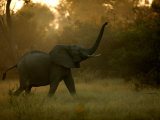 African Elephant (Loxodonta Africana) with Trunk in the Air Photographic Print by Beverly Joubert