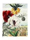 Painting of Crown Imperial Poppy with White and Red Oriental Poppies Giclee Print by Else Bostelmann