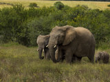 Group of African Elephants Including Juvenile and a Baby Photographic Print by Mattias Klum