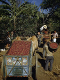 Coffee Growers Fill Decorated Oxcart with Harvested Coffee Beans Photographic Print by Luis Marden