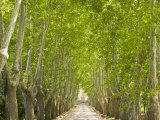 Alley of Trees Leading Up to a House in Aix En Provence Photographic Print by Michael Melford