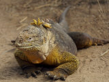 Portrait of a Galapagos Land Iguana, Conolophus Subcristatus Photographic Print by Tim Laman