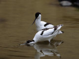 Pair of Avocets, Recurvirostra Avosetta, Hunting Prey in Water Photographic Print by Norbert Rosing