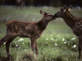 Calf Elk Get to Know Each Other Photographic Print by Michael S. Quinton