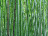 Bright Green Bamboo Forest in Kyoto Japan Photographic Print by  xPacifica