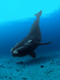 Southern Right Whale Hovers Inches over the Sandy Seafloor Photographic Print by Brian J. Skerry