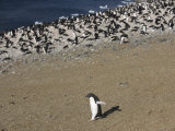 One Adellie Penguin (Pygoscelis Adeliae) Walks Along Beach Photographic Print by  Keenpress