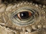 Cuban Iguana, Cyclura Nubila Photographic Print by Joel Sartore