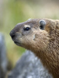 Woodchuck Watches from the Safety of a Rock Pile Photographie par Michael S. Quinton