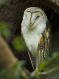 Owl Resting, Preched in a Tree Nesting Hole Photographic Print by Mattias Klum