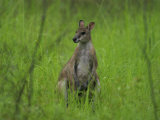 Portrait of a Wallaby Photographic Print by Randy Olson