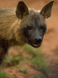 Close Up Portrait of a Brown Hyena Photographic Print by Mattias Klum