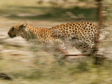 Leopard, Panthera Pardus, Running Through the Woods Photographic Print by Beverly Joubert