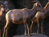 Desert Bighorn Sheep Standing on a Ledge Photographic Print by Kate Thompson