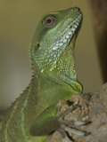 Captive Asian Water Dragon, Physignathus Cocincinus Photographic Print by Paul Sutherland