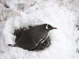 Gentoo Penguin , Pygoscelis Papua, in Snow Photographic Print by  Keenpress