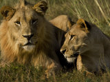 Male and Female African Lions, Panthera Leo, Lying Together Photographic Print by Mattias Klum