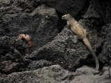 Endangered Marine Iguana and a Sally Lightfoot Crab on Volcanic Rock Photographic Print by Tim Laman
