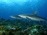 Gray Reef Sharks Swimming over Coral Reef Photographic Print by Brian J. Skerry