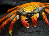 Sally Lightfoot Crab, Grapsus Grapsus, Foraging on Volcanic Rock Fotografisk tryk af Tim Laman