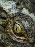 Close Up of a Crocodile's Eye Photographic Print by Mattias Klum