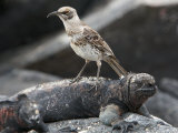 Endangered Hood Mockingbird, Nesomimus Macdonaldi, and Marine Iguana Photographic Print by Tim Laman