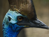 Close Up Portrait of a Cassowary Photographic Print by Mattias Klum