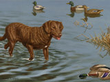Chesapeake Bay Retriever Wades in Water to Retrieve a Dead Duck Photographic Print by Walter Weber