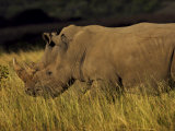 Two Rhinoceroses Grazing on Tall Grasses Photographic Print by Mattias Klum