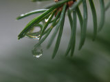 Raindrops on the Needles of a Spruce Tree Photographic Print by George Herben