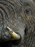 Close Up of Tusk and Face of an African Elephant Photographic Print by Mattias Klum