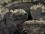 Portrait of an Endangered Marine Iguana, Amblyrhynchus Cristatus Photographic Print by Tim Laman
