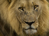 Close Up Portrait of a Male African Lion, Panthera Leo Photographic Print by Mattias Klum