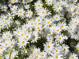 Overhead Close-up of Daisies Photographic Print by  Keenpress