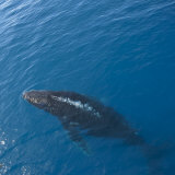 Humpback Whale, Megaptera Novaeangliae, Swimming Near a Tourist Boat Photographic Print by Keenpress