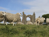 Grazing Sheep in Front of the Lindisfarne Priory Photographic Print by  Keenpress