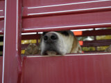 Fox Hunting Dog Snout Protrudes from Between the Bars of a Trailer Photographic Print by Scott Sroka